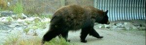 Black bear using underpass on US93