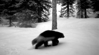 Black and white image of a wolverine walking through snowy forest