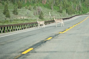 two deer crossing a two-lane highway through a forest