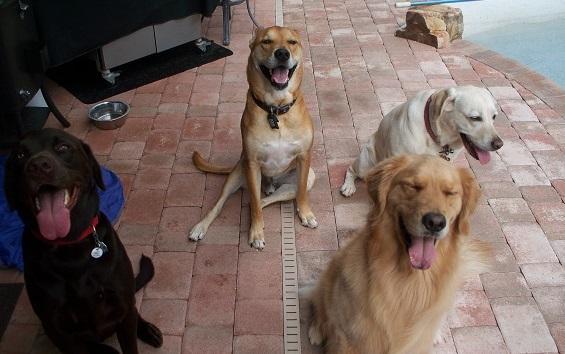 Retriever Dog Boarding Tampa