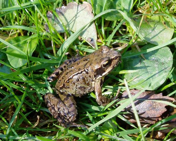 common garden frog Autumn frog | Westfield Wildlife