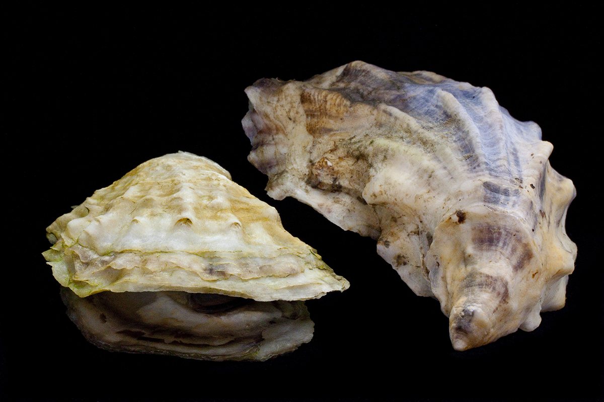 Two Oyster Shells