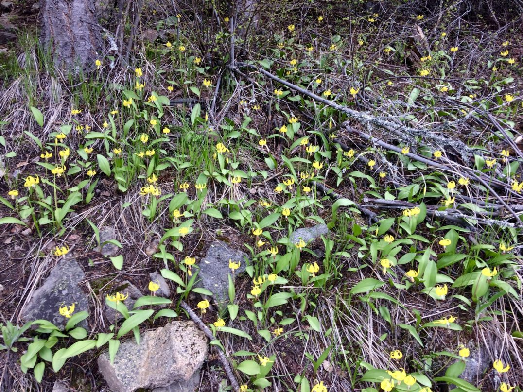 Patches of Yellow Glacier Lily