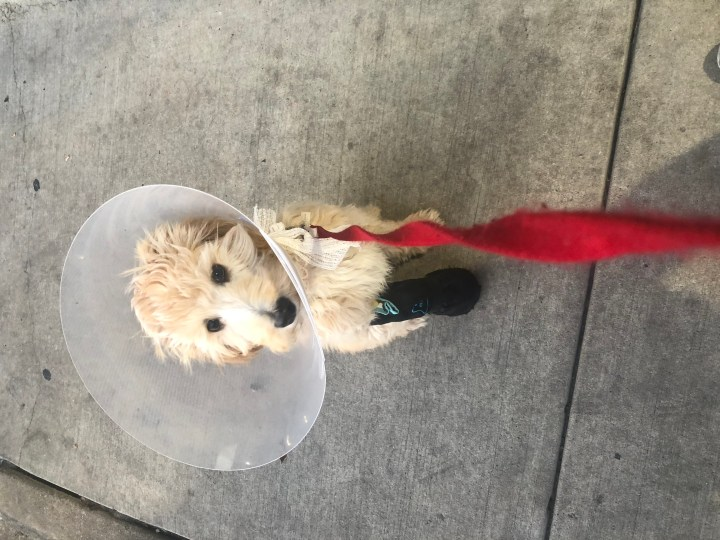Waffles in his cast and cone after a fall that broke his leg.