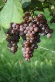 Canadice - Red Seedless Table Grape
