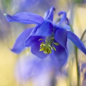 aquilegia_flower_macro_garden_blue_LLLYcDSC_0181