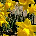 Daffodil Blossoms Abound as Emblem of 'Paint the Town Yellow'