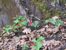 Red trillium cluster