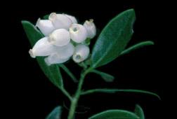 franciscan manzanita