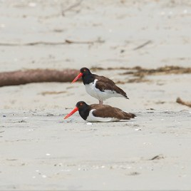 American Oystercatchers