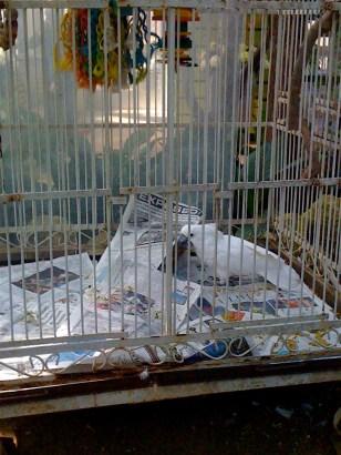 Angel, the 15-year-old cockatoo