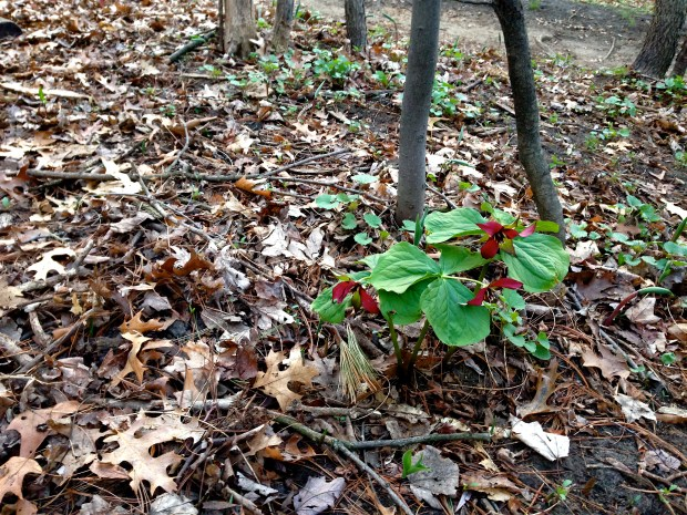 And an Ontarian treat: a red trillium on our path back!