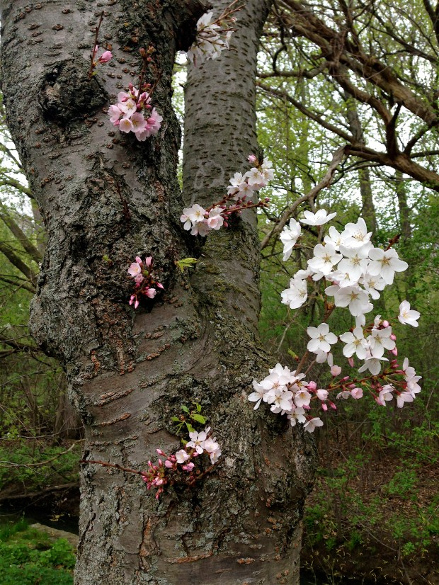 blooms on a cherry tree trunk
