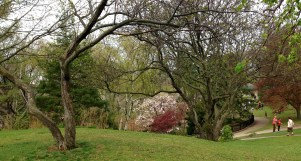 huge magnolia and Japanese maple in distance