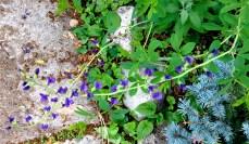 graceful little purple blossoms