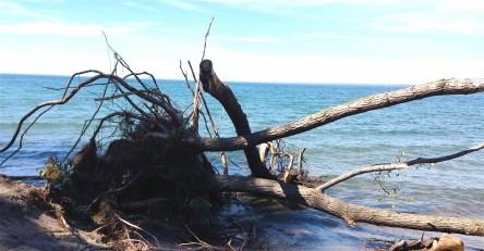 beachside fallen tree