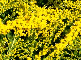 goldenrod, up close