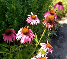 bumblebees on coneflowers