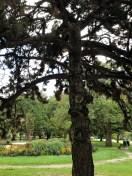 Beautiful pine in Queen's Park
