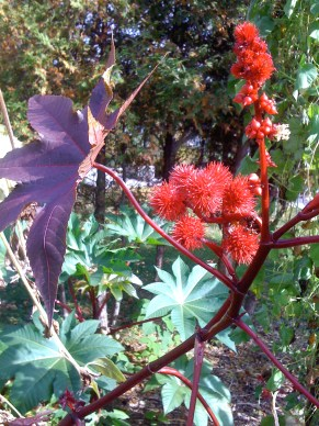 Castor Oil plant and its terrific spiky fruit. Like the other interesting flora of the day: quite poisonous!