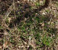 Pretty wood violets growing underfoot, in the forest.