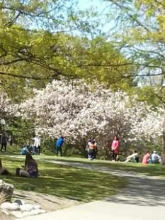 Late-breaking news! WOW! Sharon's photo of High Park cherry blossoms, two weeks after our visit! There were finally a few cherry blossoms - nice!