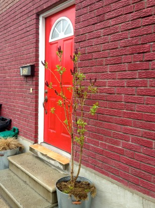 On the walk to Robarts, our first hint of blooming trees, outside this lovely door