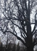 Before finding the Trinity-Bellwoods Park young cherry trees, we encounter this very senior oak.