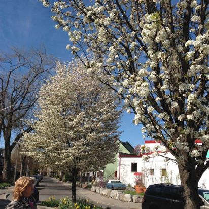 En route to High Park, we spot beautiful serviceberry and pear trees, in full bloom.