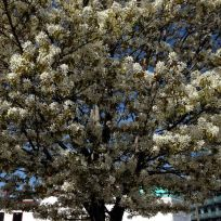 That gorgeous pear tree