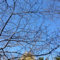 High Park on Mother's Day: barely any blossoms at all, even in lower grove. (But look closely and you'll see a few tiny fleurs.)