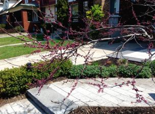 Beautiful redbud, seen on Kennedy Avenue while walking up to Bloor.