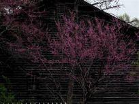 beautiful blooming crabapple at Riverdale barn