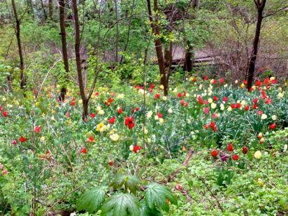 Tulips, everywhere!