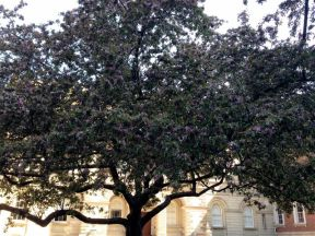 It's a blooming cherry... we think!! :-) At Osgoode Hall. Thanks, Sharon, for the pre-walk research!
