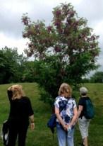 Elizabeth, Jan and Sharon admire this pretty locust tree in Earlscourt Park - and Elizabeth determines its type...