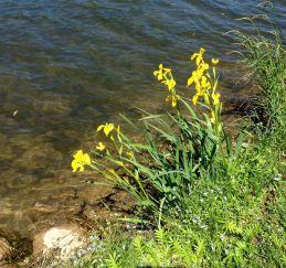 Walking along the lagoon, saw lots of wild iris.