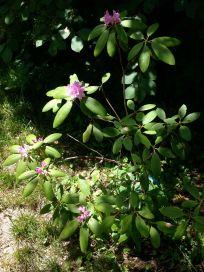 Pretty rhododendron, enjoying the sun.