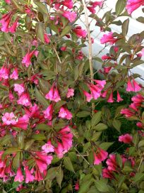 A shock of pink blooms.