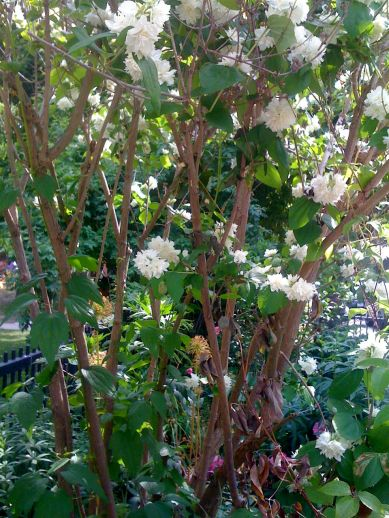 Flowers at the end of the lane, in the Healey Willan Parkette: mock orange. Heavenly scent.