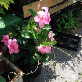 Pretty Mandevilla in bloom.