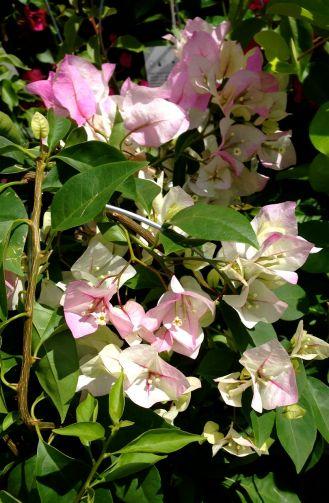 Pale and delicate bougainvillea.