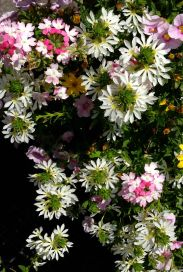 Bright and pretty - these complex flowers just have petals on one side (like 12 - 6 on a clock dial). Very nifty!