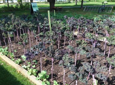 At the Ward's Cafe, the Kale Project! Skylar and Jorien did volunteer stints here, this summer. May the project continue! The kale is still looking hardy - ready for a little fall weather.