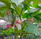 Allan Gardens - glass chimneys to protect (tamarillo?) fruit from.. squirrels and birds?!