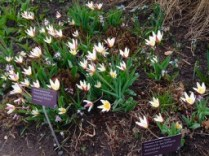 "Gorgeous ""krinkled white"" tulips welcomed us at Edwards Gardens."