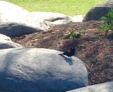 red-winged blackbird in Music Gardens - for me, an omen of travel