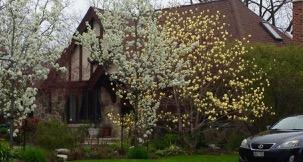 Wow - pretty yellow magnolias?