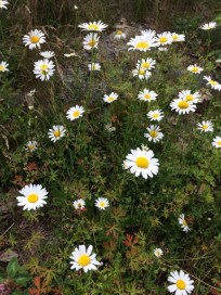 Daisies from Helena's walk in Gravenhurst