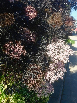 Elizabeth and Rosalyn both let me know that this is Sambucus nigra (Black Lace elderberry). A beauty!